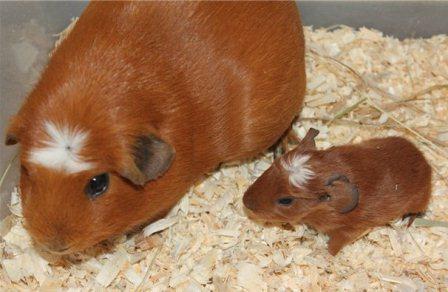 Свинка и малыш породы Крестед. Цена - до 25 тысяч рублей