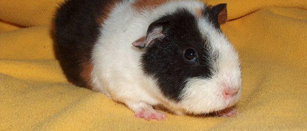Маленькая морская свинка - как назвать?