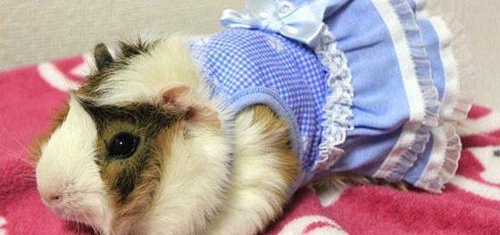 Морская свинка в платье