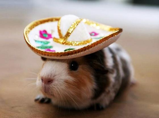 Свинка в шляпке - настоящий мачо