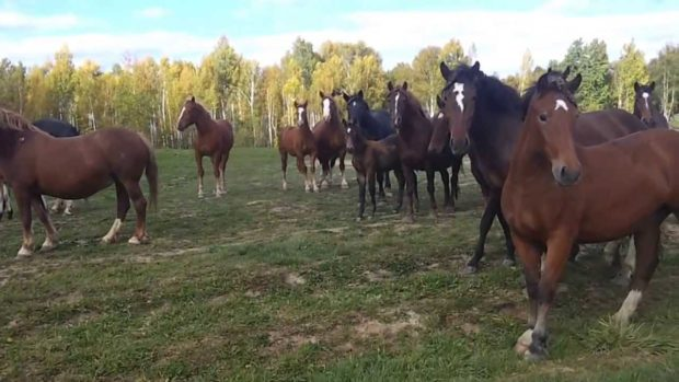 Табунное содержание коней