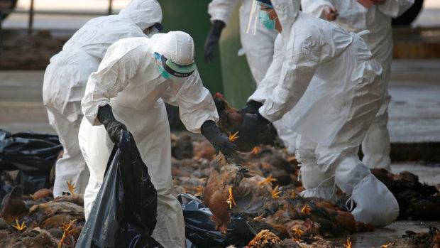 Птичий грипп - вся птица забивается