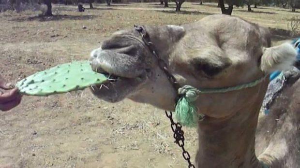 Верблюд может прожевать и кактус