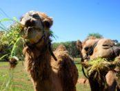 Верблюды едят любую зелень