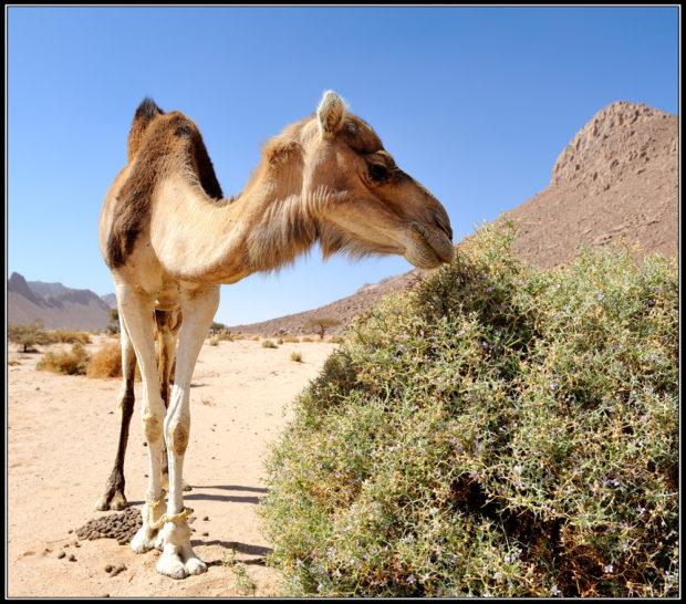Верблюд ест куст колючки