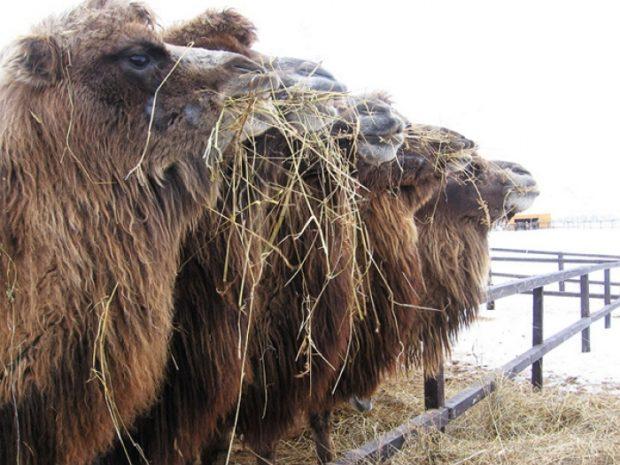 Сено для верблюдов - основа зимнего рациона