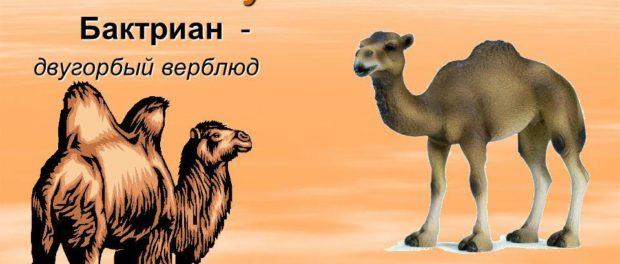 Верблюды - обитатели засушливых регионов
