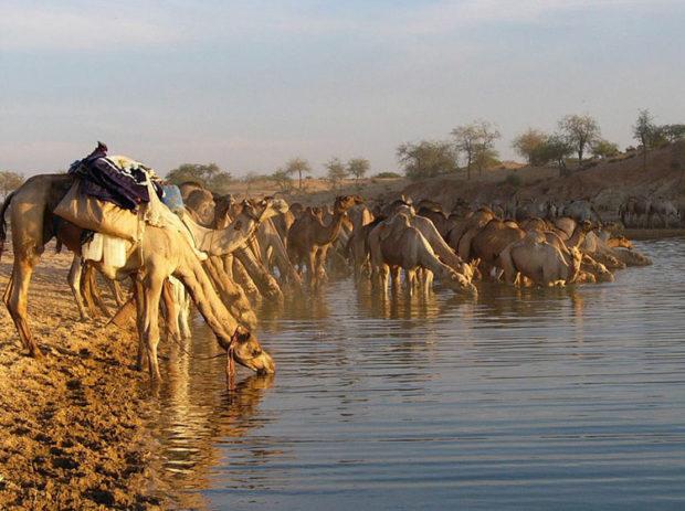 Верблюды пьют до 100 л воды за раз