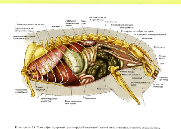Внутренние органы самки морской свинки
