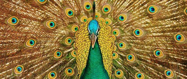 Зеленый яванский павлин