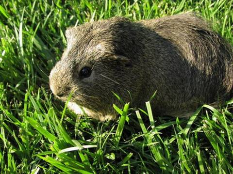 Дикая свинка - травоядное животное