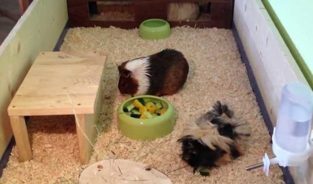 Две свинки вместе уживаются, только если не самцы