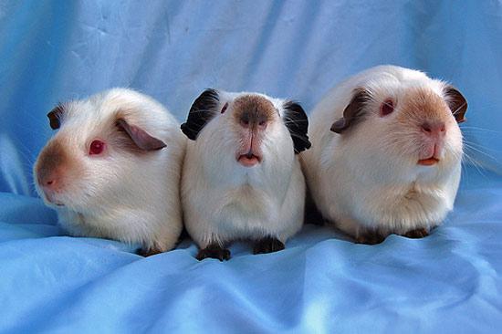 Американская порода морских свинок