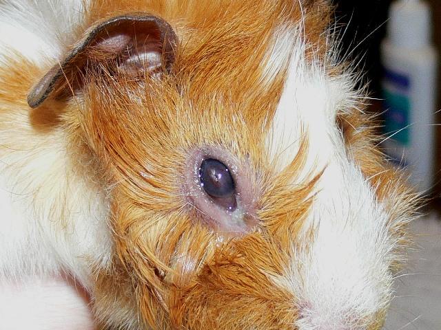 Почему морская свинка чихает. Лечение простуды у свинок