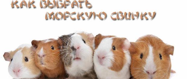 Выбор свинки - ответственное мероприятие