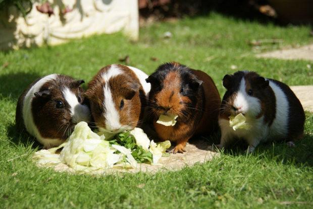 Капуста для свинок полезна