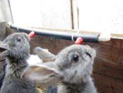 Кролики пьют воду из ниппельной поилки