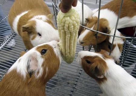 Кукуруза для свинок может быть постоянно