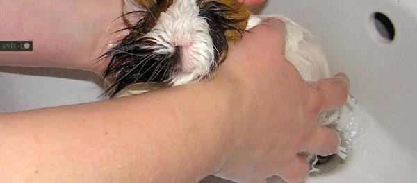 Купание морской свинки - полезная процедура