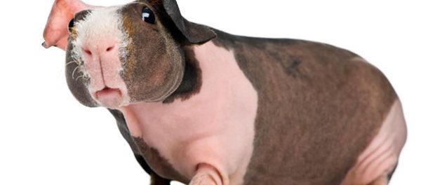 Лысая свинка скинни