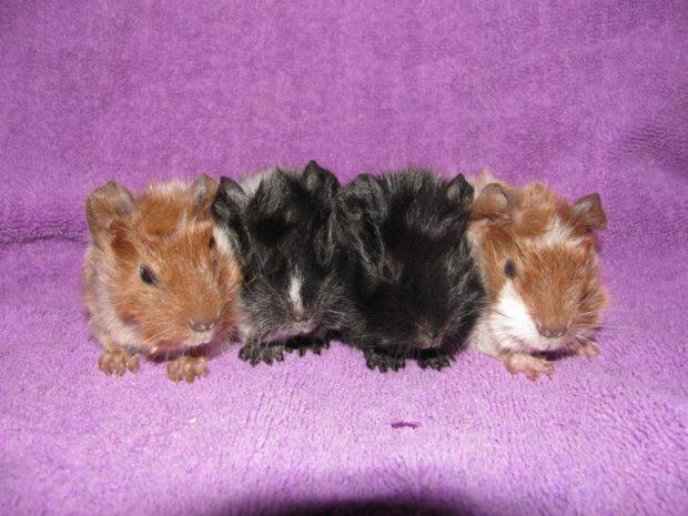 Малыши розеточной свинки из питомника