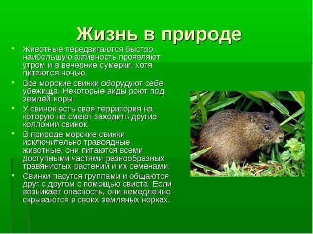 Жизнь морских свинок в природе