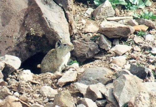 Скальная морская свинка в Перу