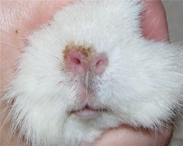 Насморк у морской свинкипри простуде