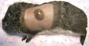 болезни морских свинок: основные заболевания и их лечение