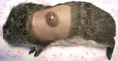 Опухоль у морской свинки