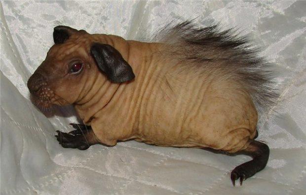 Порода лысых морских свинок болдуин