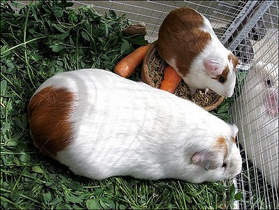 Порода куи - самые крупные свинки