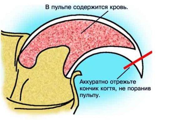 Правила стрижки когтей морской свинки