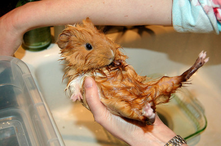После купания свинку надо обсушить, чтобы она не простудилась
