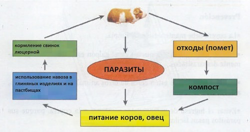 Путь заражения глистами