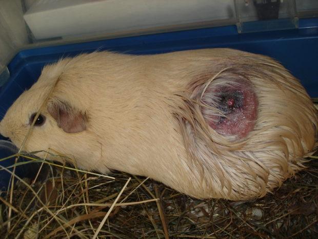 Абсцесс на коже у морской свинки