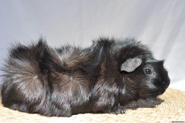Розетки на боку у черной свинки