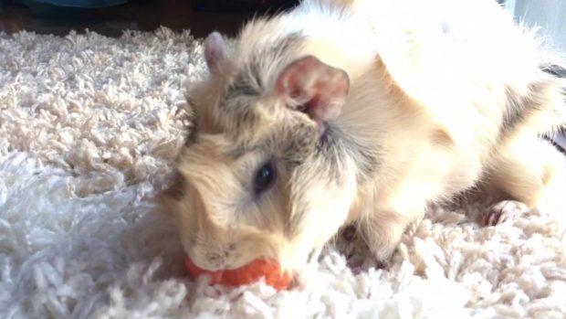 Розетки на мордочке свинки