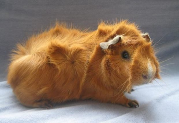 Розеточная свинка рыжего окраса
