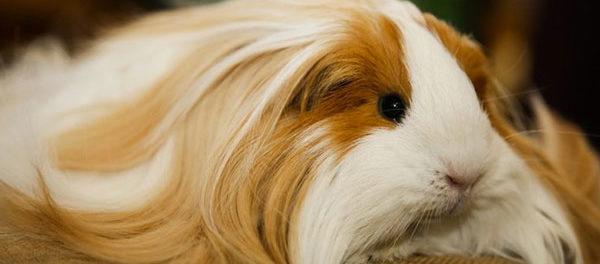 Свинки шелти - элитная порода