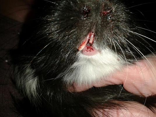 Сломанный зуб в свинки у морской свинки