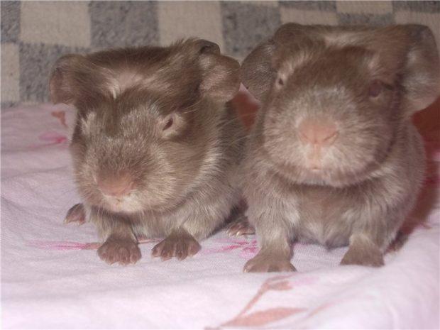 Соболиные морские свинки