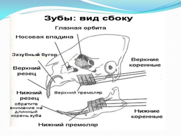 Строение зубов и черепа у свинки
