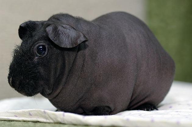 фото морская свинка лысая