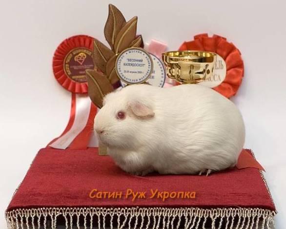 Свинка шоу класса - чемпион