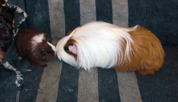 Свинки очень привязчивы