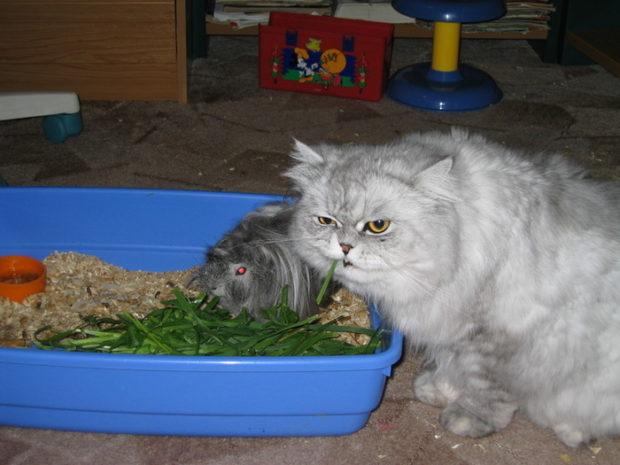 Свинка и кот хорошо уживаются