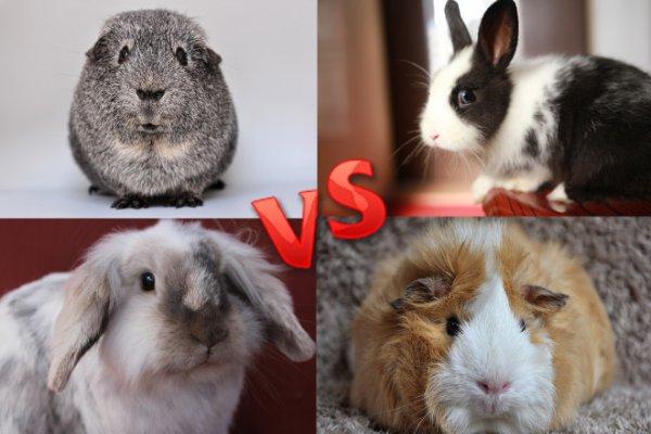 Свинка против кролика - что выбрать? Лучше свинку