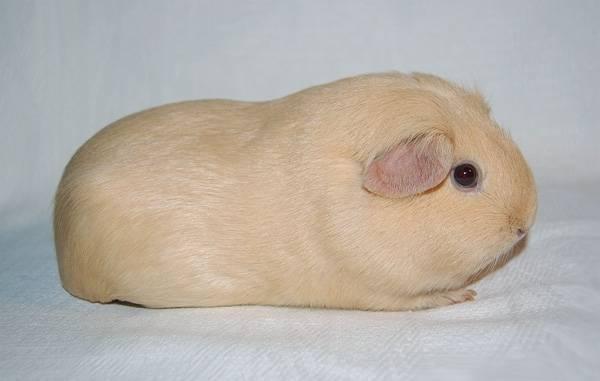 Морская свинка породы селф