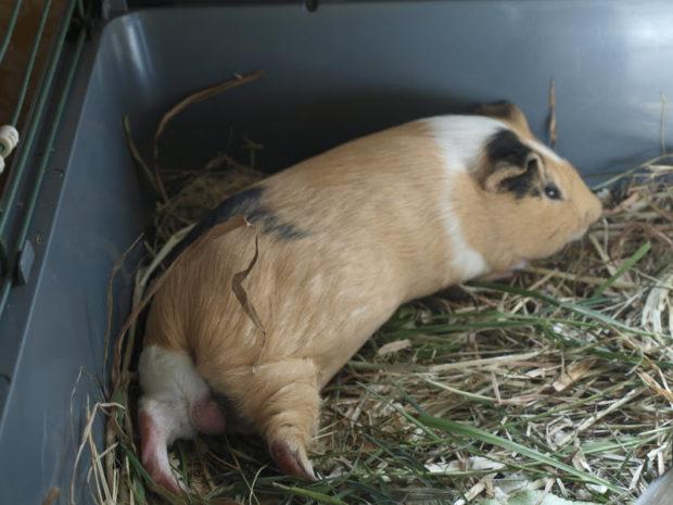 Свинка вялая при пневмонии
